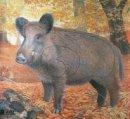 JVD - Tierbildauflage Wildschwein